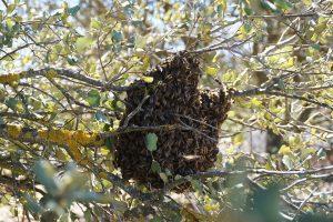Informations pratiques : essaim d'abeilles