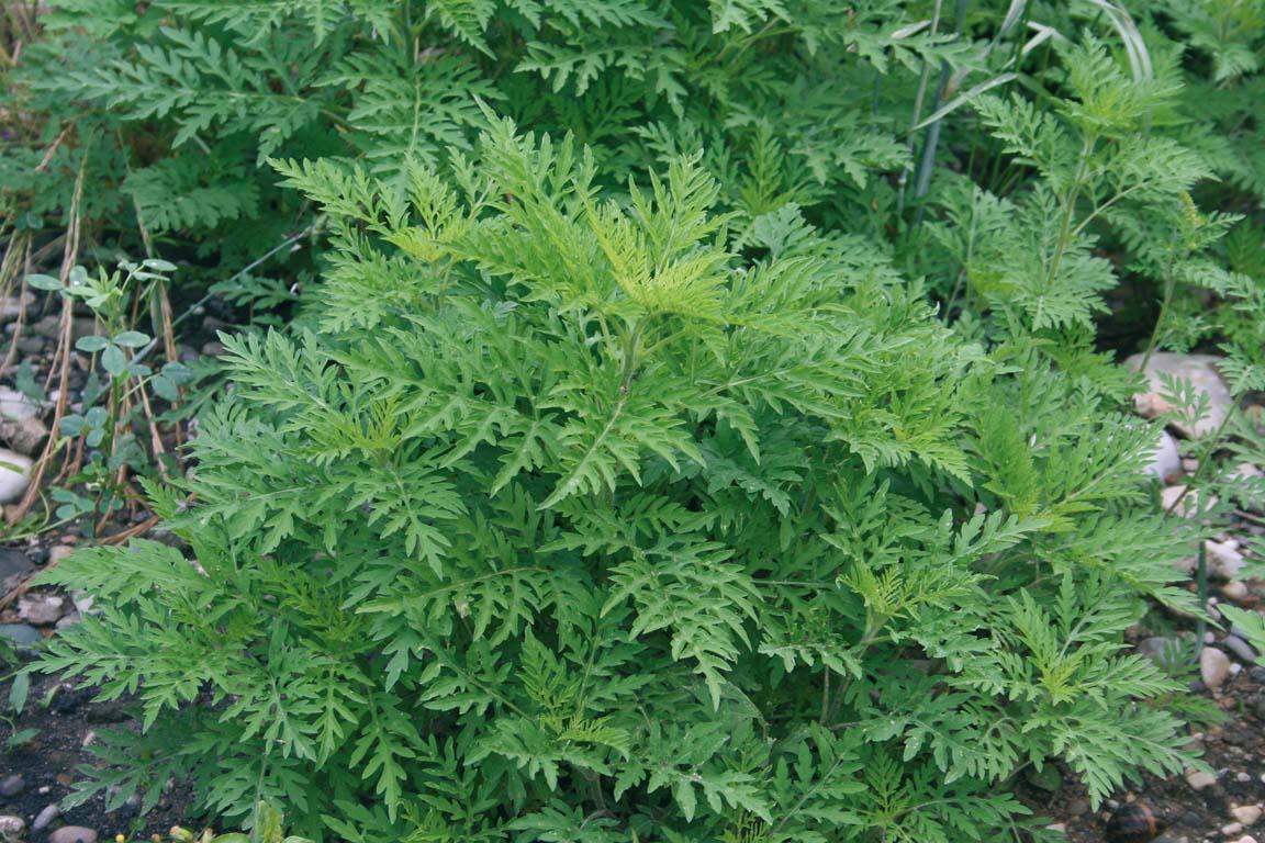 Ambroisie : une plante à guetter   Saint Martin de l'If